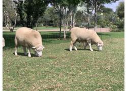 Dormer skape /sheep