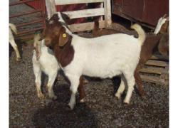 Healthy Cheap Boer Goat