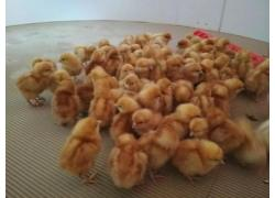 Lohmann Brown day old chicks