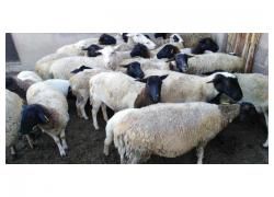 doprpers sheeps for sale