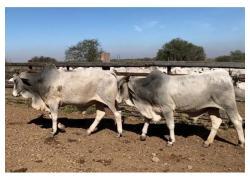 Brahman Bulls For Sale