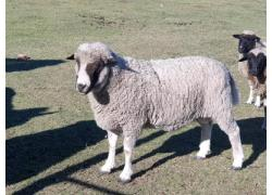 Dorper Rams for sale