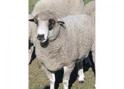 Dorper Rams for sale
