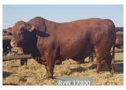 ETVL bull sale