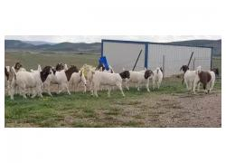 Qurbani Boer goats for sale
