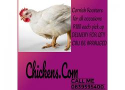 Live chicken for sale