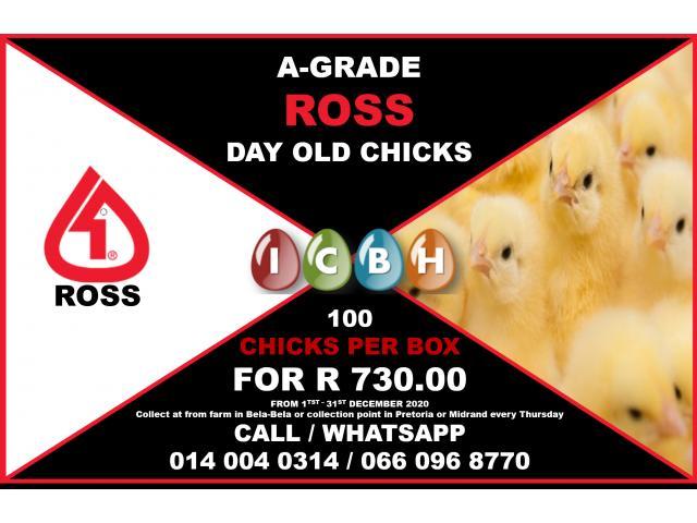 Ross 308 Broiler Chicks