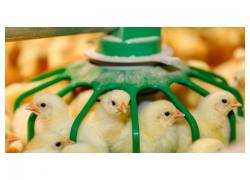 Healthy Chickens and chicks