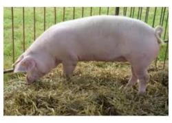Large White Landrace Pigs