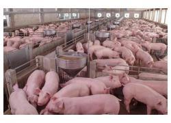 White Landrace Piglets Sales