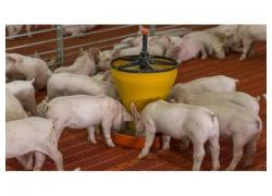 Landrace Piglets on Sales