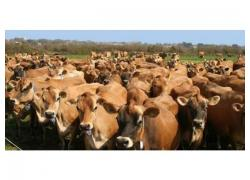 Jersey Cows for sale
