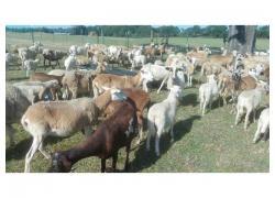 All livestock