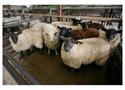 Merino Lambs Sales