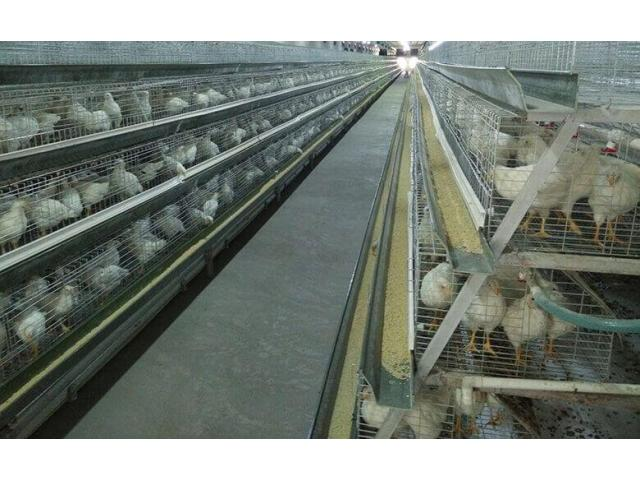 Chickens and layer cages