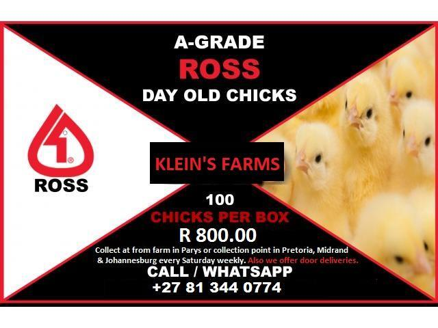 Day Old / Ross 308 Broiler