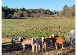 Cattles for Sale +27734531381