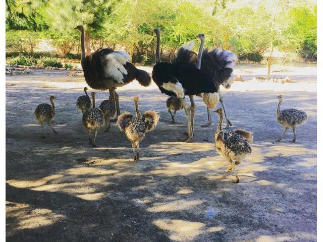 Ostrich for sale +27734531381