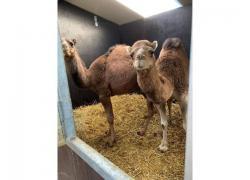 Camels for sale +27734531381