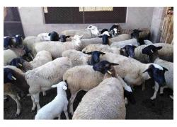 sheep an Goat for sale