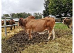 Boran Heifers And Bulls