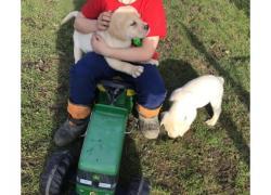 Cute Labrador Retriever Pups