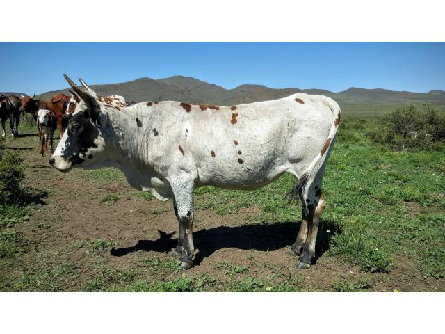Nguni Stock for sale