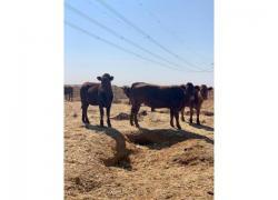 Bonsmara Heifers and Bulls