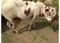 Nguni bulls and heifers