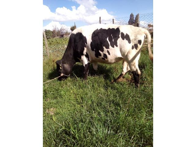 Friesian And Jersey Cows