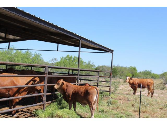Beef Master Cattle breed