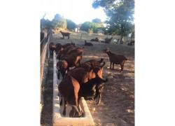 Kalahari Goats for sale