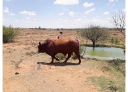 Bonsmara Herds for sale