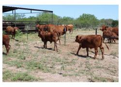 Beef Master Cattle