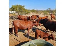 Healthy Bonsmara cattle