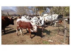Nguni Cattle Available