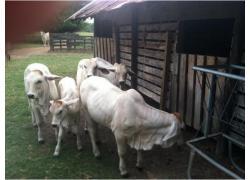Brahman Cows for sale