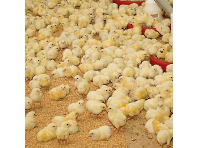 Chickens of day old, available