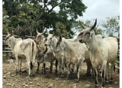 Healthy Cattle available