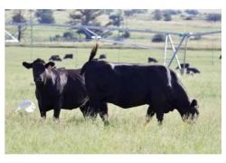 Black Angus Cows  Sales