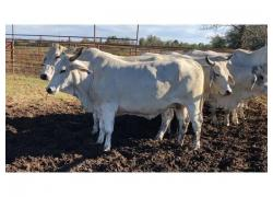 Healthy Brahman Cows Sales