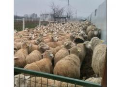 SHEEP ON SALES
