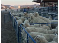 SHEEP SALES