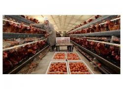 Point of Lay hens Sales