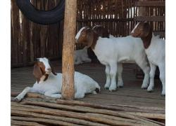 Goats and sheep's for delivery