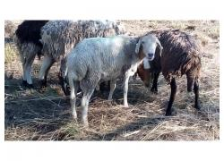 Pedi Ram Sheep