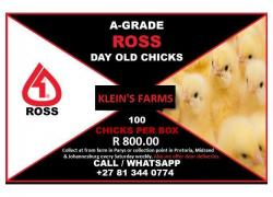A Grade Day Old Broiler Chicks