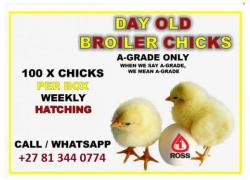 Day Old Broiler Sales