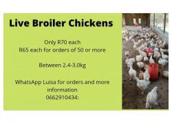 Live Broiler Chickens