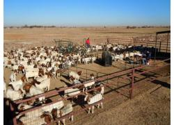 BOER GOATS & SHEEP SALES